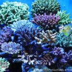 アクアリウムLED照明を利用しているサンゴ【東京都星野様】