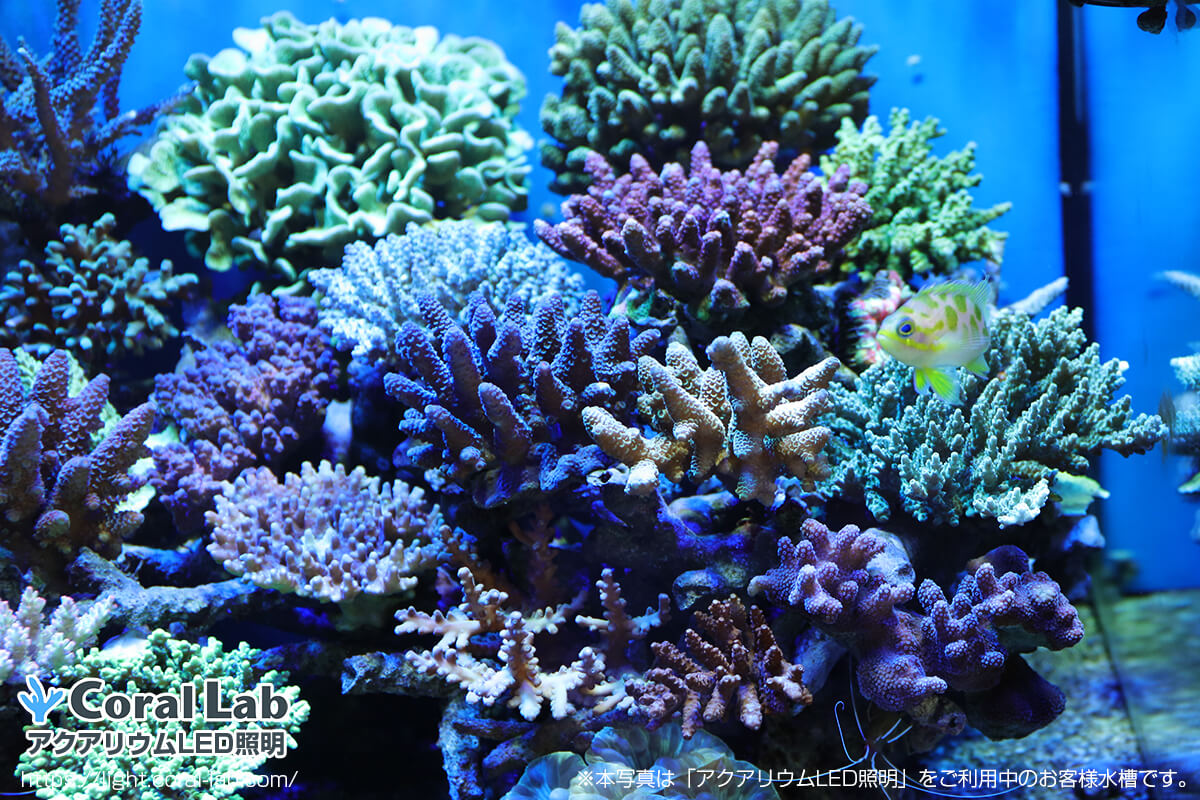 星野様サンゴ