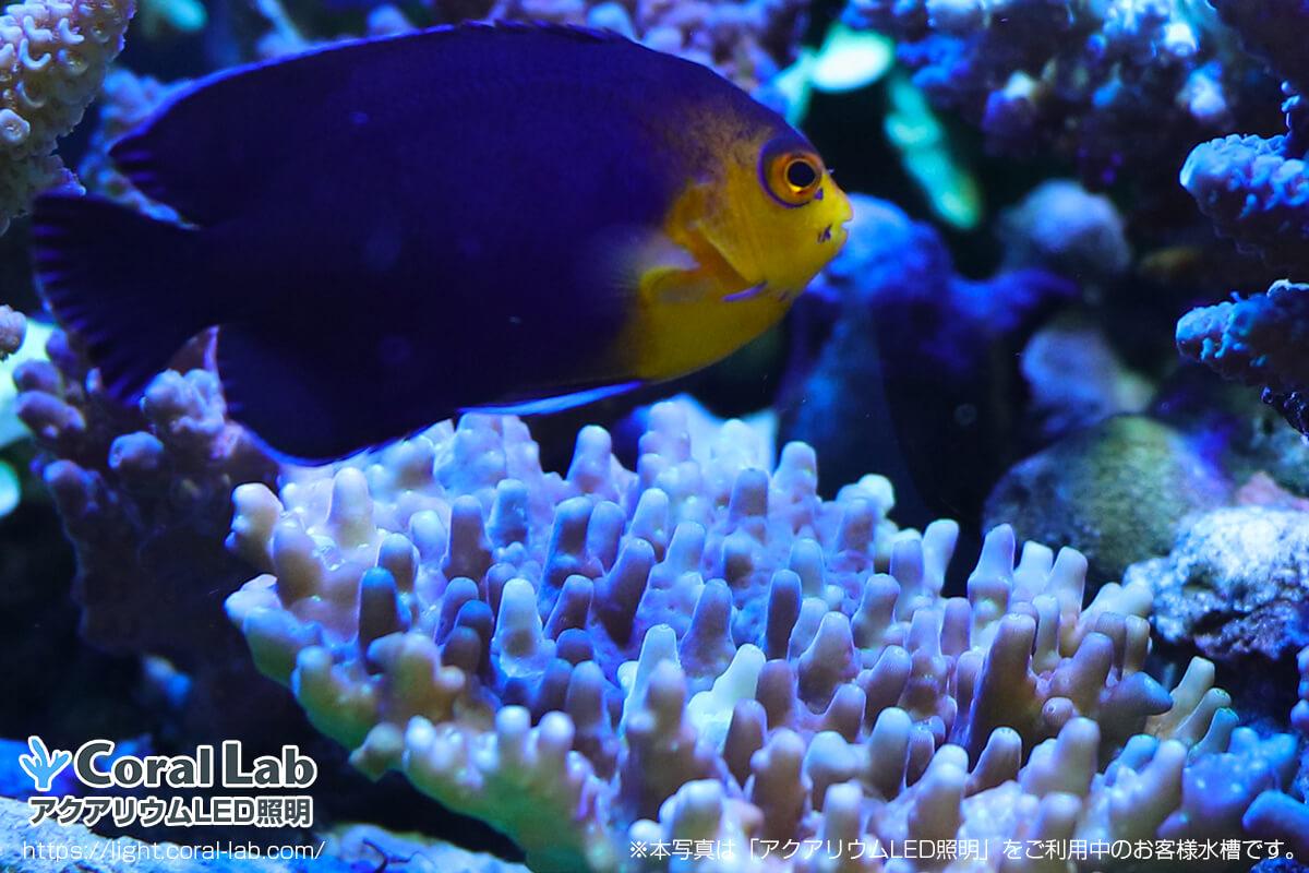 アクアリウムLED照明を利用している海水魚【東京都星野様】