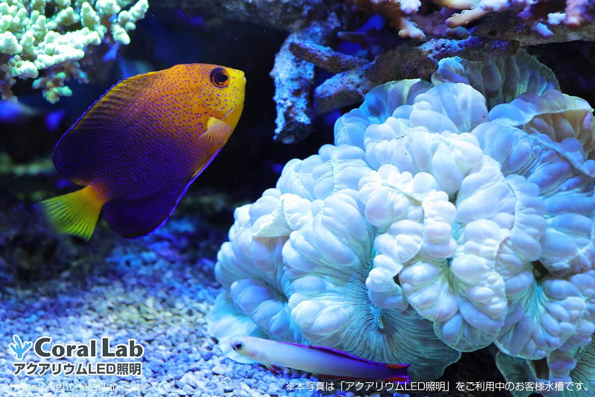 星野様海水魚