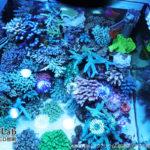 アクアリウムLED照明を利用して飼育中のサンゴ