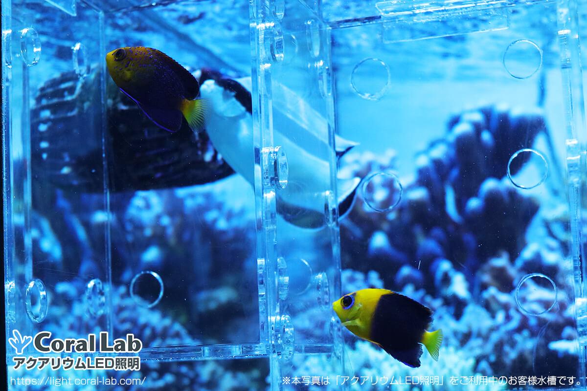 アクアリウムLED照明を利用して飼育中の海水魚
